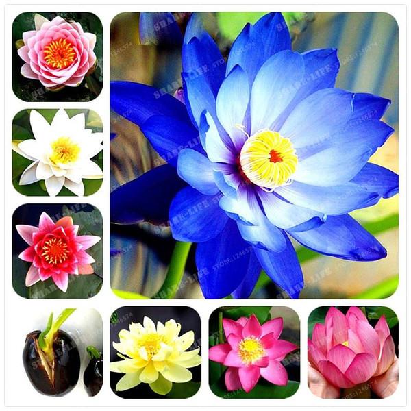 1 pz / borsa fiore di loto semi di loto piante acquatiche ciotola loto semi di ninfea semi di fiori pianta perenne per giardino di casa