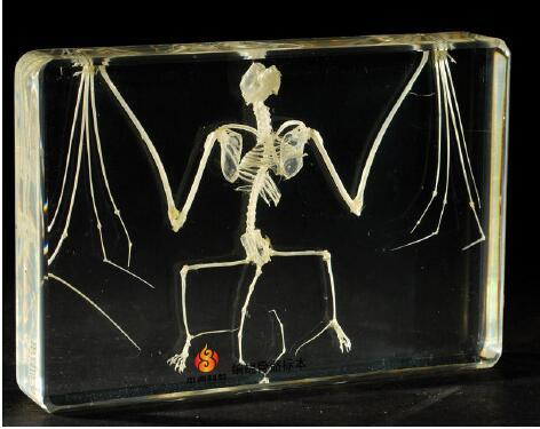 top popular Bat Skeleton Specimen Acrylic Resin Embedded Skeleton Science Teaching Specimens Transparent Mouse Block Student New Biology Learning Kits 2021