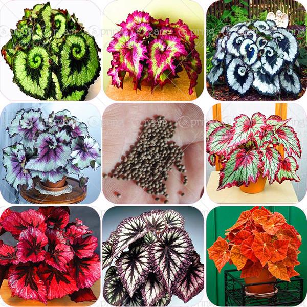 100pcs / sac bégonia graines bonsaï fleur graines cour balcon balcon Coleus graines bégonia plantes en pot pour la maison jardin