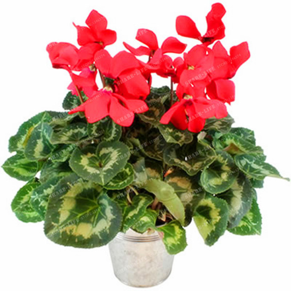 100 Pcs Mini Cyclamen Bonsai Flower Seeds Beautiful Exotic Perennial Flower Seeds Indoor Balcony Bonsai Potted Plant for Sale