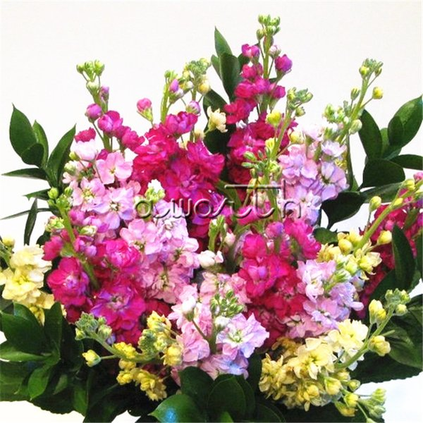Mixed Color Matthiola incana Stock Flower 200 Seeds Cut Flower Variety Easy-growing DIY Home Garden Annual Flowering Plant High Germination