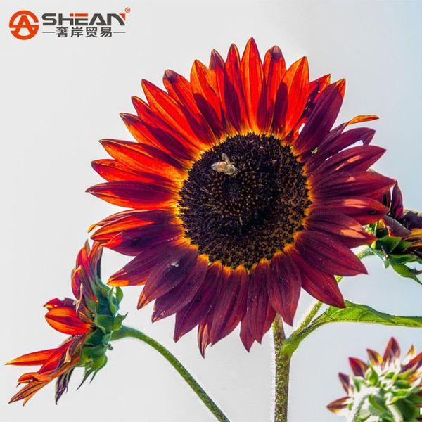 50 семена/мешок редкие красные семена подсолнечника органические Red Fortune Helianthus Annuus семена для садоводства декоративные цветы