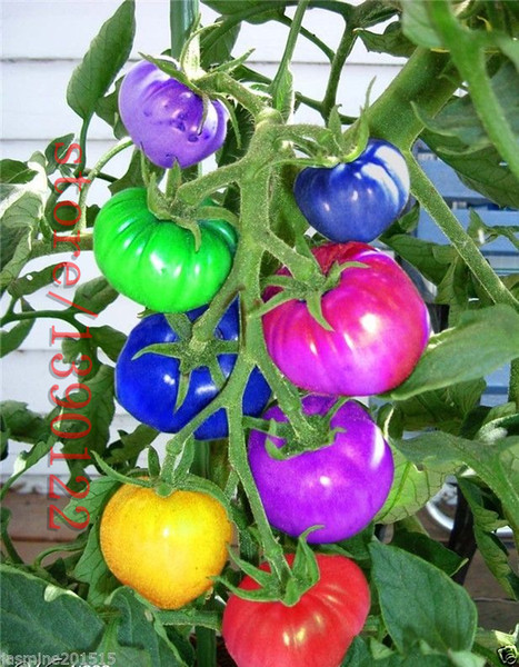 50pcs/bag rainbow tomato seeds, rare tomato seeds, bonsai organic vegetable & fruit seeds,potted plant for home &garden