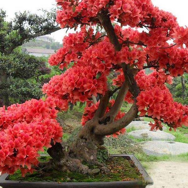 10 PCS Rouge Japonais cerisiers Graines Courtyard Jardin Bonsaï Arbre Graines Petit Sakura Arbre Graines Couleurs Mélangées