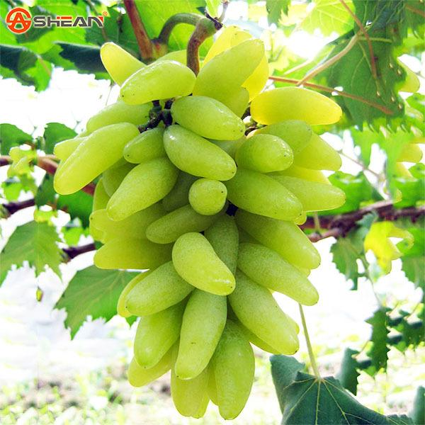 100 Seeds / Pack Rare Green Finger Grape Seeds Advanced Fruit Seed Natural Growth Grape Delicious Gardening Fruit Plants