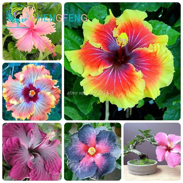 wholesale50 pcs Hibiscus seeds 24 kinds HIBISCUS ROSA SINENSIS Flower seedsplant bonsai