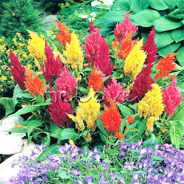 Colorful Celosia Plumed Cockscomb Flower 1000 Pcs Seeds Easy to Grow from Seed Suit for Border and Container Flowering Plant Very Beautiful