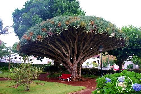 10 graines d'arbres de sang de dragon des îles Canaries (Dracaena draco) voyantes, exotiques Livraison gratuite!, # K1E7M4