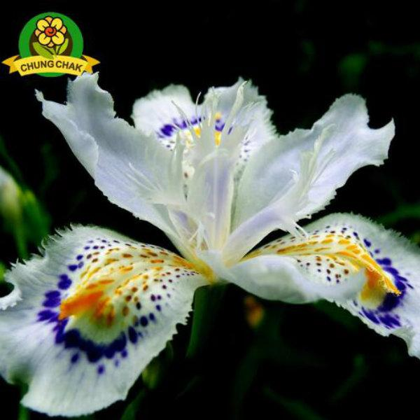 2017 Hot Flowers Seeds Japanese Iris Japonica Seed 30PCS White Iris Orchid Rare Exotic Flower Easy to plant Garden Home Bonsai