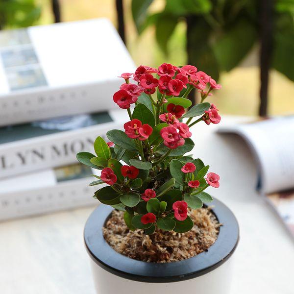 20pcs Samenpflanzen Topf Euphorbia milii Eisen Begonia Blumensamen von Grünpflanzen, um die Luft zu reinigen und das Schreibtischbüro zu verschönern