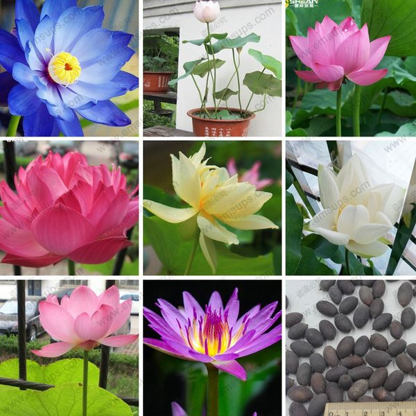12 colori ciotola semi di loto perenne pianta acquatica semi di giglio semi di fiori casa bonsai 20 particelle / sacchetto
