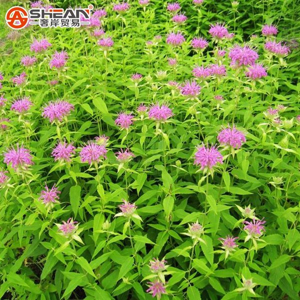 United Mint Seeds Balcony Potted Mint Aromatic Plant Vegetable Seeds About 200 Pieces / Lot