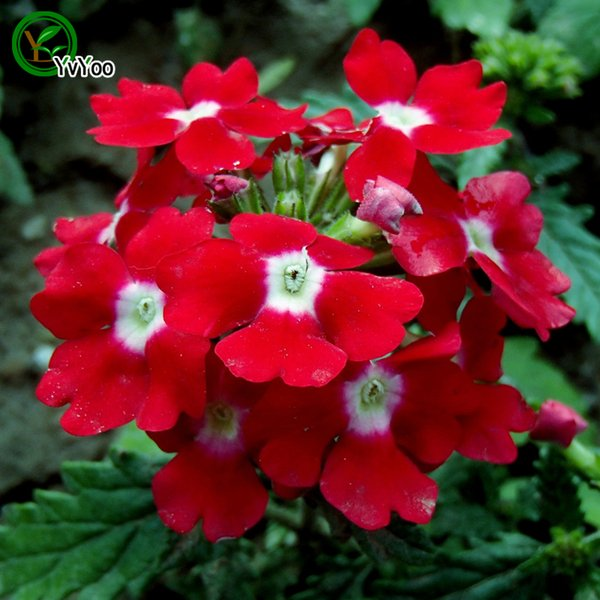 Red Verbena seeds Bonsai Seeds Garden Plants Flower Seeds Annual Herb 50 Particles / lot W004