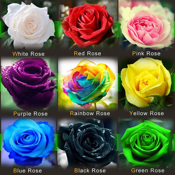 Free-Shipping Colourful Rainbow Rose Seeds Purple Red Black White Pink Yellow Green Blue Rose Seeds Plant/Garden Beautiful Flower seeds