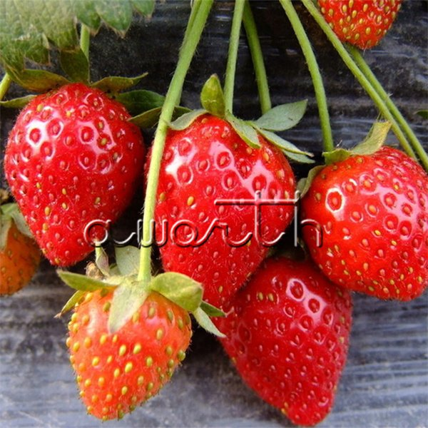 200 Pcs Red Strawberry Fruit Seeds Tasty Juicy Very Sweet Easy to Grow DIY Home Garden Heirloom Non-GMO ideal for small container & windbox