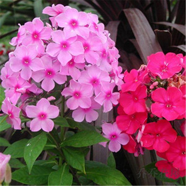Phlox Bush Flower 100 Pcs Seeds Mix Color Annual DIY Home Garden Landscape Flowering Bush Plant