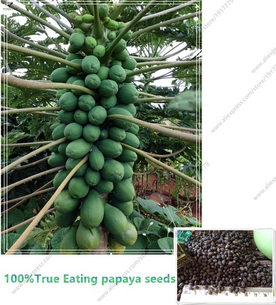 100% de vraies graines de papaye (Carica papaya). Graines de papaye sucrées biologiques naines en bonsaï, 15 pcs / sac Graines de fruits rares comestibles Carica papaya