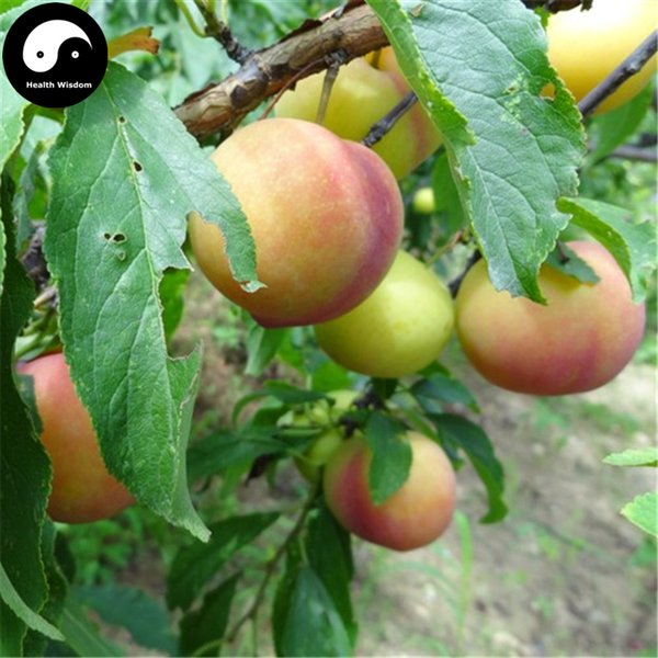 buy real prunus salicina fruit tree seeds plant green plum, Beautiful flower