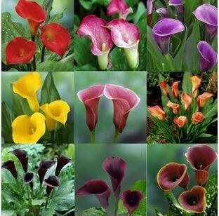 Calla lily seed imported from Holland, calla lily seedlings - 50 seeds/bag
