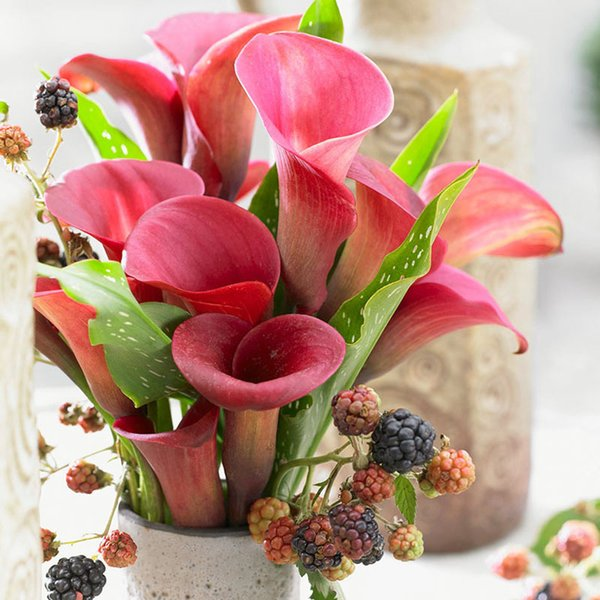 20 PCS /bag purplish red calla seed flower lily seeds Rare Plants Flowers Seed for Home gardening DIY easy grow best gift for wife Calla lil