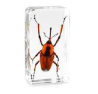 Weevil Snout Beetle Specimen Acrylic Resin Embedded Insect Education Toys Transparent Mouse Paperweight Kids New Type Biology Learning Gifts