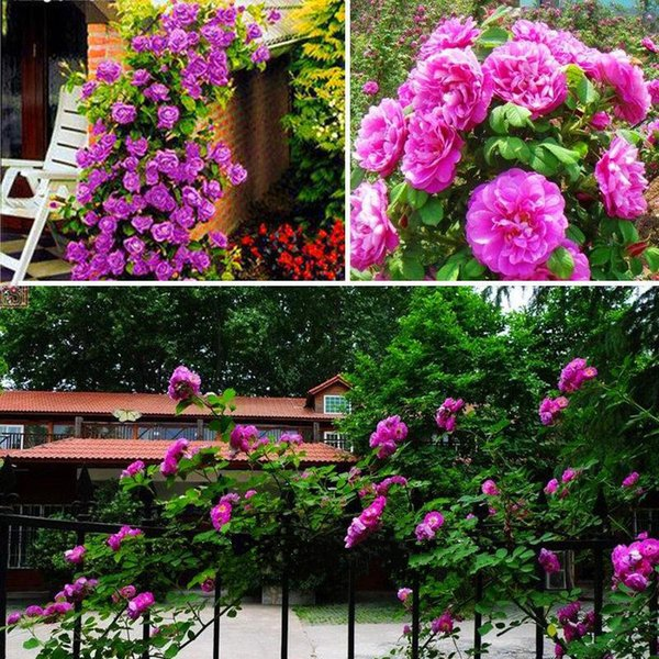 Hot Sale 10 Color Rose Seeds Purple Red White Pink Yellow Green Blue Plant DIY Home Garden Plant/Garden Seeds