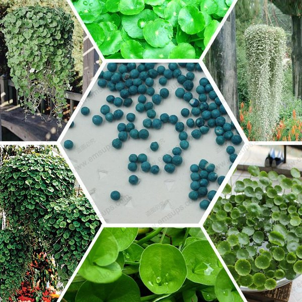 Dichondra repens seeds hanging green grass plants bonsai for DIY home & garden 100% true seed 100 pcs / bag
