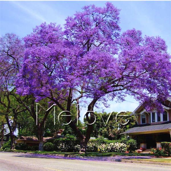 20 Mavi Jacaranda Tohumları ekim Jacaranda Mimosifolia DIY Ev Bahçe için Bonsai Ağacı Yard Bitki Güzel Uzun ömürlü Bloom
