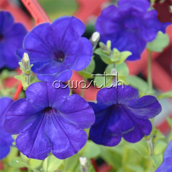 Petunia Flower Blue Purple 200 Pcs Seeds / Bag Ideal Garden Flower for Flower Beds, Baskets and Containers , Bonsai