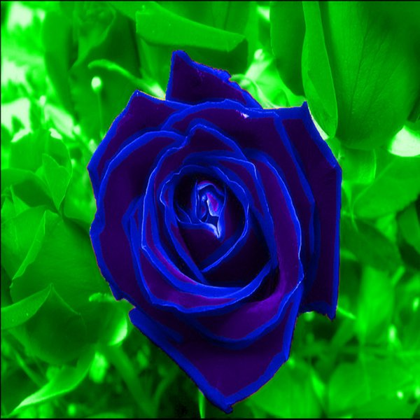 Hot Frete Grátis-Whole Venda Bonita Sementes de Flores Baratos Flores de Charme 100 Peças Por Parcel Sementes de Alta Qualidade