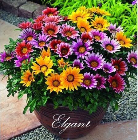 100 pcs gazania tesouro sementes de flores para diy casa jardim perene flor cama ou recipientes crescente longo flor período