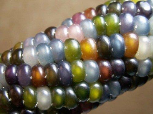 Rainbow Corn Glass Gema Indio Indio de Heirloom de maíz El maíz más hermoso del mundo 100pcs / lot DEC245