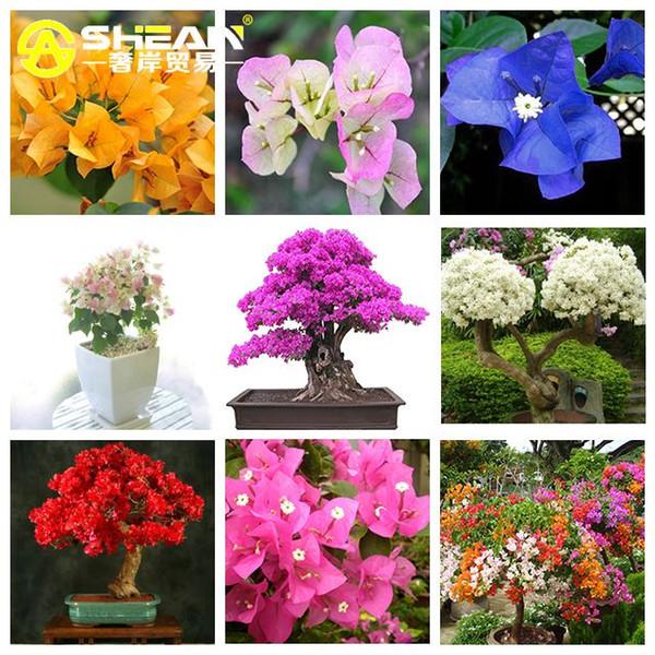 9 sortes de graines de bougainvilliers Spectabilis Willd peuvent être choisies vivaces graines de fleurs de bonsaïs de bougainvilliers - 100 PCS