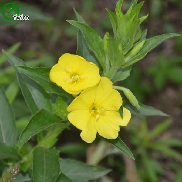 Eveningprimroes seed Bonsai Seeds Garden Plants Flower Seeds Annual Herb 50 Particles / lot u001