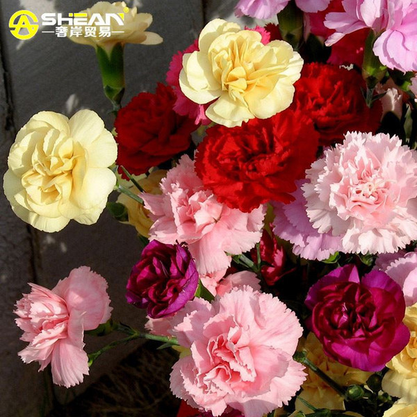 A Pack 200 Pcs Cut Mix Carnation Seeds Balcony Potted Courtyard Garden Plants Seeds Dianthus Caryophyllus Flower Seed
