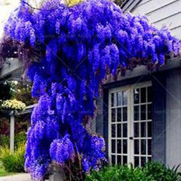 10 semi / confezione. VENDITA CALDA NUOVO BLU Wisteria Tree Seeds Indoor Piante ornamentali Semi di glicine Semi di fiori, bello il tuo gardon