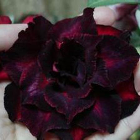 Carmesim Desert Rose Duplo Pétalas de Flores Sementes de Flores Em Vasos Sementes Plantas Ornamentais Varanda Adenium Obesum Sementes