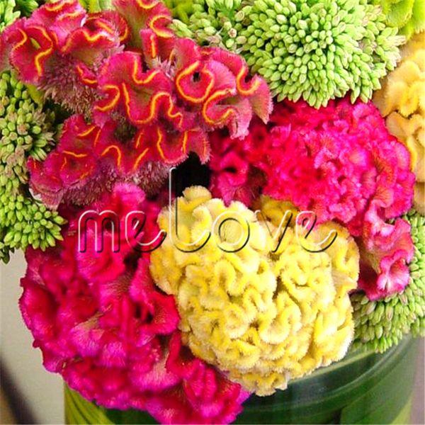 1000 semi colorati gigantesco cresta di gallo semi di fiori velluto celosia cristata Impressionante impianto di fioritura per confine e vaso