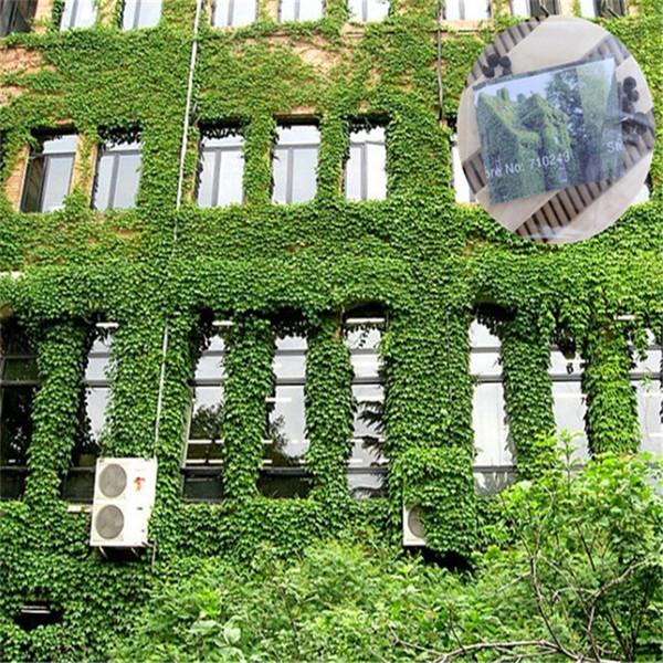 Lierre de Boston Plantes feuillues grimpantes Graines de brocart à 3 feuilles Les informations sur les quatre saisons sont faciles à classer 100bag / lot IB101