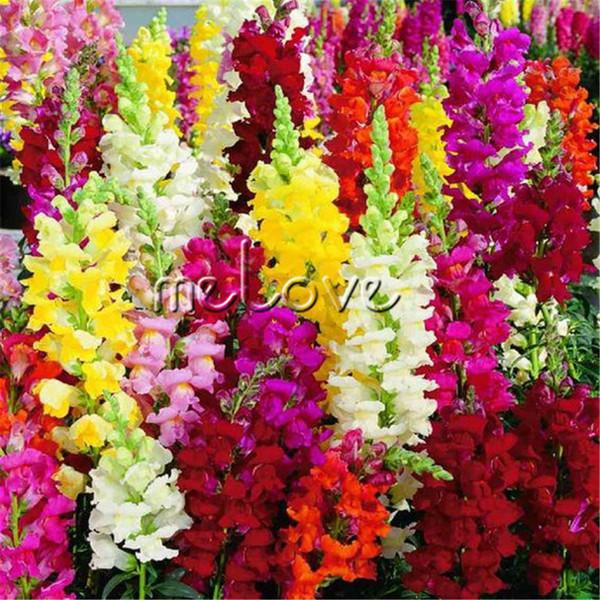 Mélange De Couleur Snapdragon Antirrhinum Fleur 1000 Pcs Graines Facile à cultiver Fleur Semi-rustique pour DIY Maison Jardin Paysage Frontière Conteneur