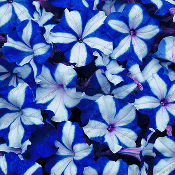 Berserk Specials Promotion Balcony Potted Rare Blue White Petunia Flower Seeds Flowering Plants 100 Particles / lot