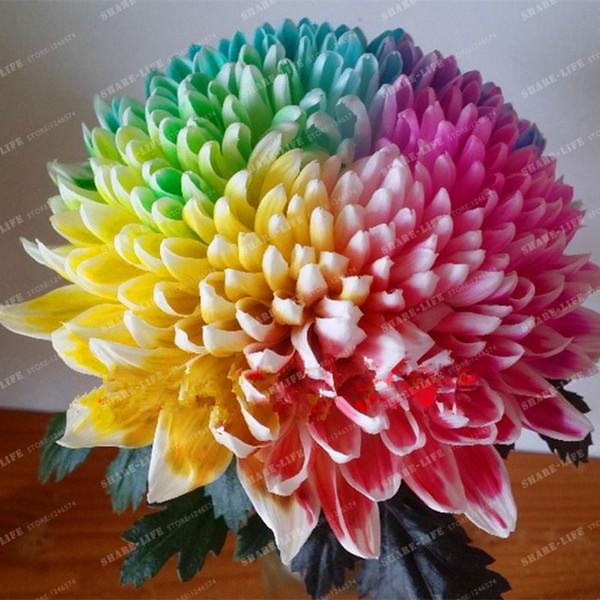 100 STÜCKE Regenbogen Chrysantheme Blumensamen seltene farbe Hausgarten TOP