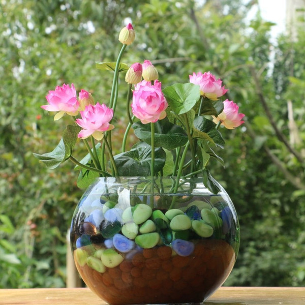 10 teile / paket schüssel lotussamen hydrokulturpflanzen wasserpflanzen blumensamen topf seerose samen Bonsai Garten
