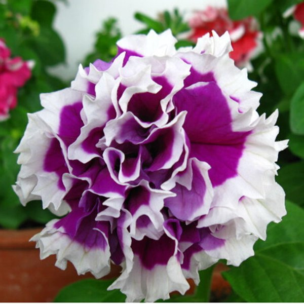 Potted Balcony Petunia Petals Flower Seeds Annuals Bonsai Flowering Plants True Seed 100 Particles / lot