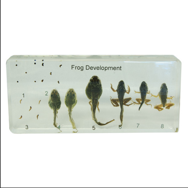 top popular Life Cycle of Frog Specimen Resin Embedded Frog Developement Specimens Transparent Mouse Paperweight Student Biology Learning&Teaching Aids 2021