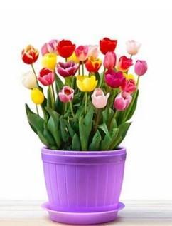 l cuatro estaciones plantar en maceta cultivo de suelo cultivo de flores de tulipn hidropnico plantas