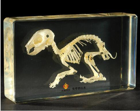 top popular Rabbit Skeleton Biology Specimen Acrylic Resin Embedded Real Skeleton Science Kits Transparent Mouse Paperweight New Student Education Gifts 2021