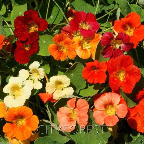 50 Adet Bahçe Nasturtium Çiçek Tohumları Tropaeolum nanum Mix Renk Gösterişli Kokulu Çiçek DIY Ev Bahçe için Konteyner Bonsai Çiçek Yatak