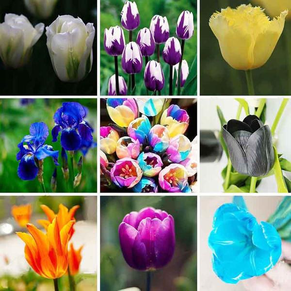 100 teile / beutel Bonsai Tulip Seeds 20 Sorten Regenbogen Schwarz Lila Gelb Blau Tulip Blumensamen Topfpflanzen