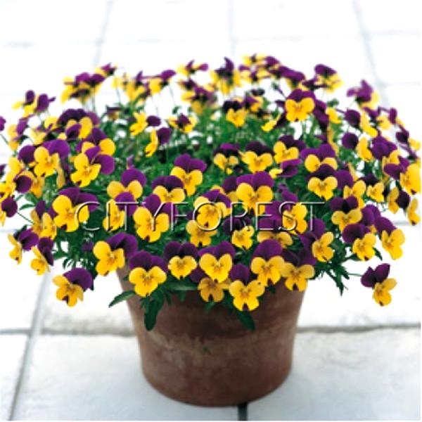 100 Pcs Viola Cornuta Mixte Couleur Cornu Violet Graines De Fleurs Viola Tricolore Pensée Facile à cultiver Parterres et Conteneurs De Fleurs